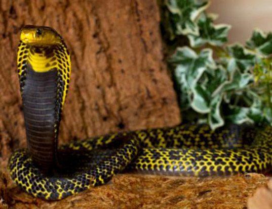 Picture of a samar cobra (Naja samarensis)