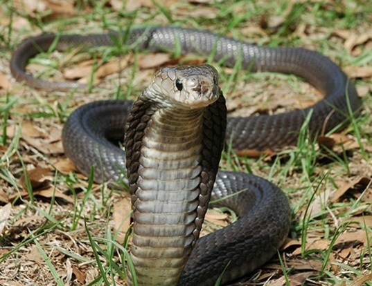 Picture of a equatorial spitting cobra (Naja sputatrix)