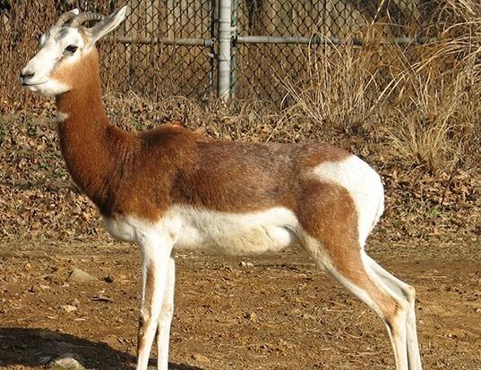 Picture of a dama gazelle (Nanger dama)