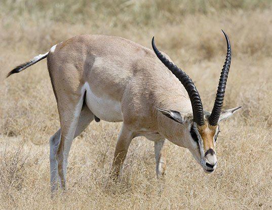 Picture of a grant's gazelle (Nanger granti)