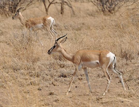 Picture of a soemmerring's gazelle (Nanger soemmerringii)