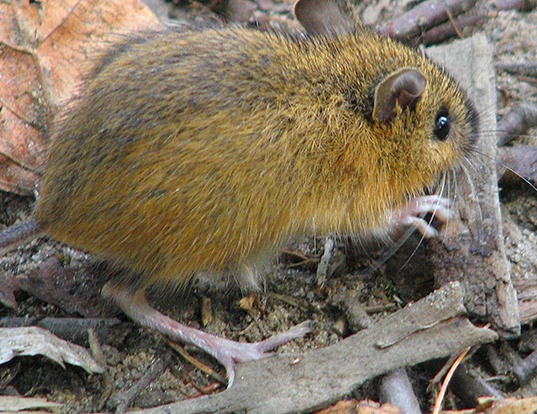 Picture of a woodland jumping mouse (Napaeozapus insignis)