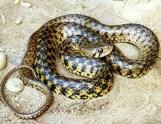 Picture of a indian river-snake (Natrix piscator)