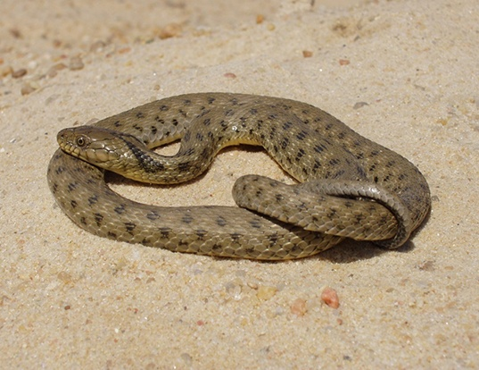 Picture of a palaearctic tessellated snake (Natrix tessellata)