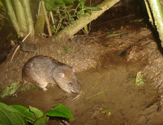 Picture of a south american water rat (Nectomys squamipes)
