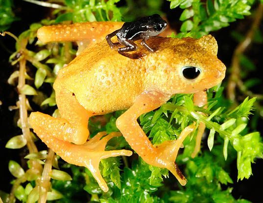 Picture of a kihansi spray toad (Nectophrynoides asperginis)