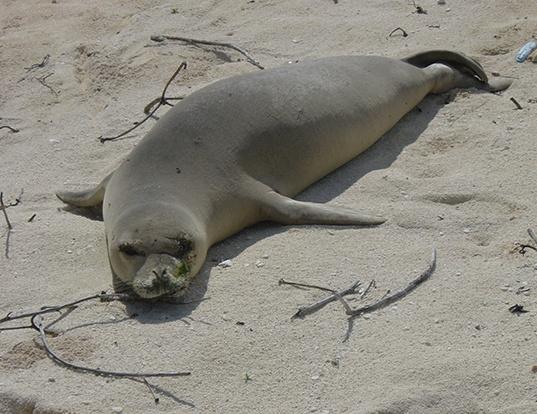 Picture of a hawaiian monk seal (Neomonachus schauinslandi)