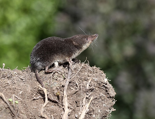 Picture of a eurasian water shrew (Neomys fodiens)