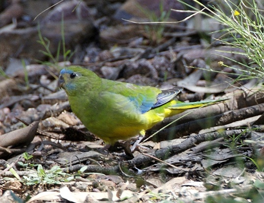 Picture of a turquoise parrot (Neophema pulchella)