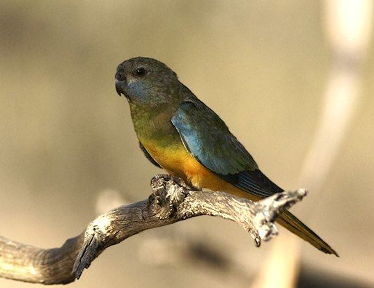 Picture of a scarlet-chested parrot (Neophema splendida)
