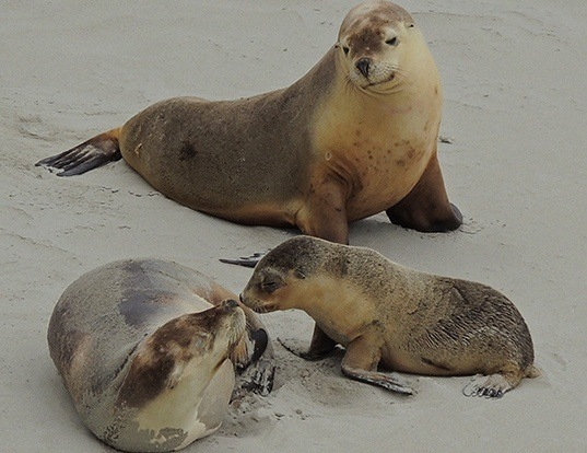 Picture of a australian sea lion (Neophoca cinerea)