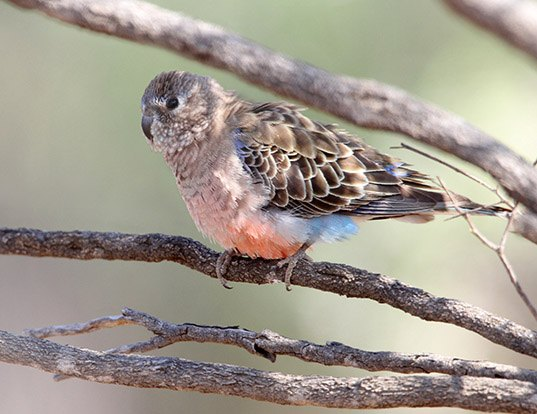 Picture of a bourke's parrot (Neopsephotus bourkii)