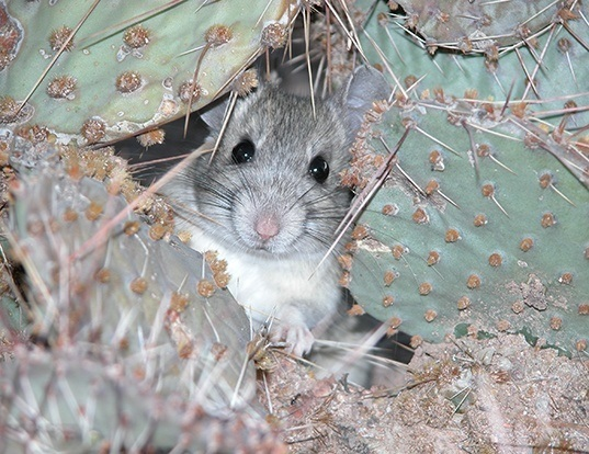 Picture of a white-throated woodrat (Neotoma albigula)