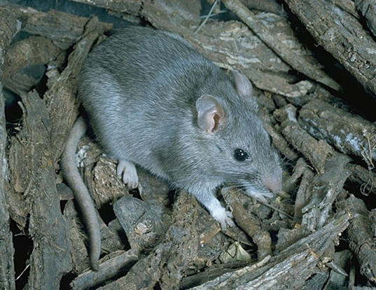 Picture of a southern plains woodrat (Neotoma micropus)
