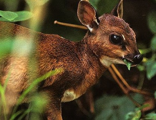 Picture of a bates' pygmy antelope (Neotragus batesi)