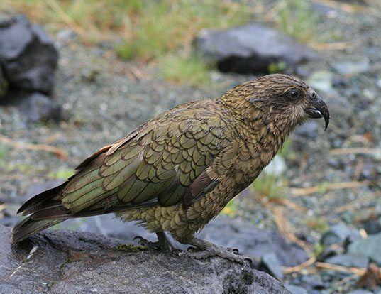 Picture of a kea (Nestor notabilis)