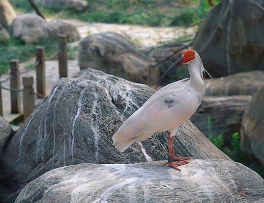 Picture of a asian crested ibis (Nipponia nippon)