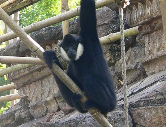 Picture of a black crested gibbon (Nomascus concolor)