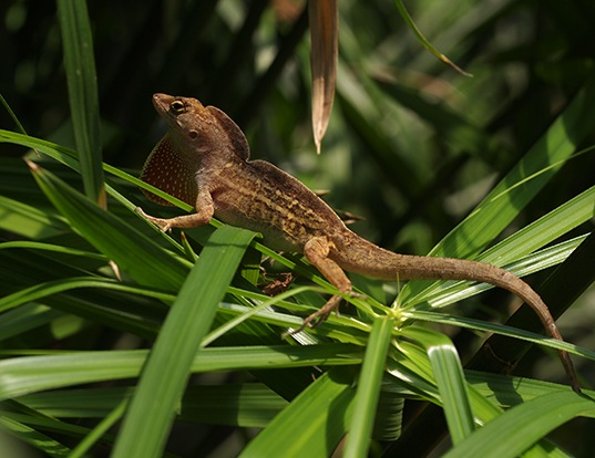 Picture of a cuban brown anole (Norops sagrei)