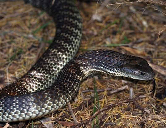 Picture of a mainland island snake (Notechis scutatus)