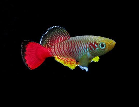 Picture of a redtail notho (Nothobranchius guentheri)