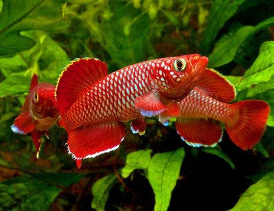 Korthaus 39 killifish life expectancy for Betta fish life expectancy