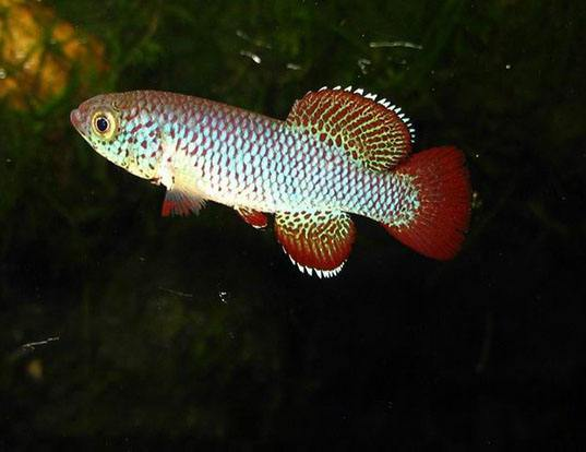 Picture of a beira killifish (Nothobranchius kuhntae)