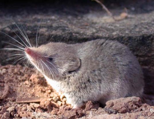 Picture of a desert shrew (Notiosorex crawfordi)