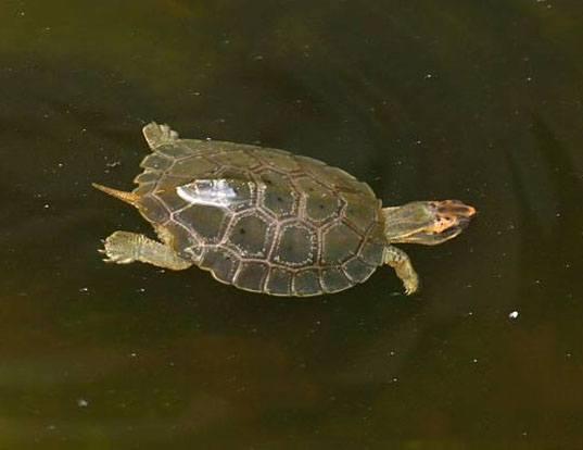 Picture of a malayan flatshell turtle (Notochelys platynota)