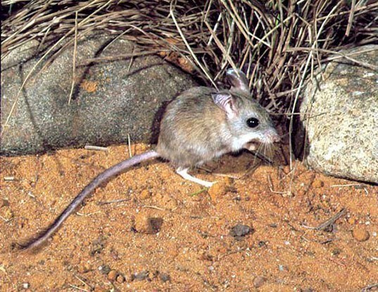Picture of a mitchell's hopping mouse (Notomys mitchellii)