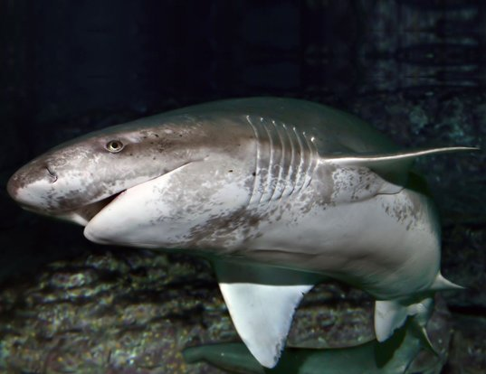 Picture of a broadnose sevengill shark (Notorynchus cepedianus)