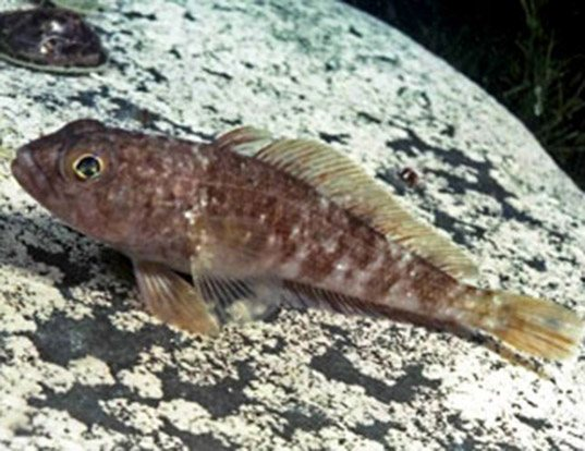 Rock Cod Fish | Marbled Rockcod Life Expectancy