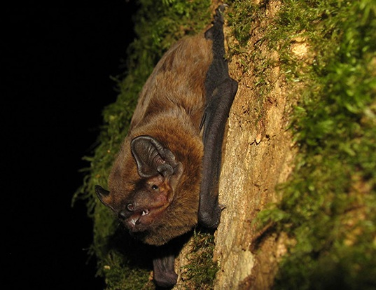 Picture of a lesser noctule (Nyctalus leisleri)