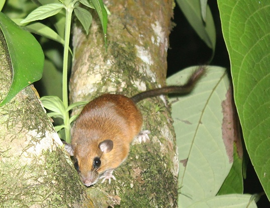 Picture of a vesper rat (Nyctomys sumichrasti)