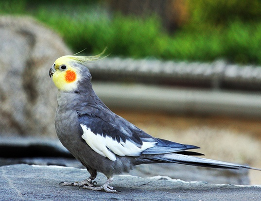 Picture of a cockatiel (Nymphicus hollandicus)