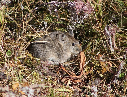 Picture of a gray pika (Ochotona cansus)