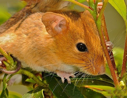 Picture of a golden mouse (Ochrotomys nuttalli)