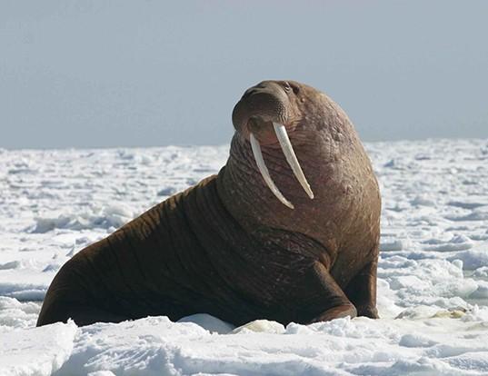 Picture of a walrus (Odobenus rosmarus)