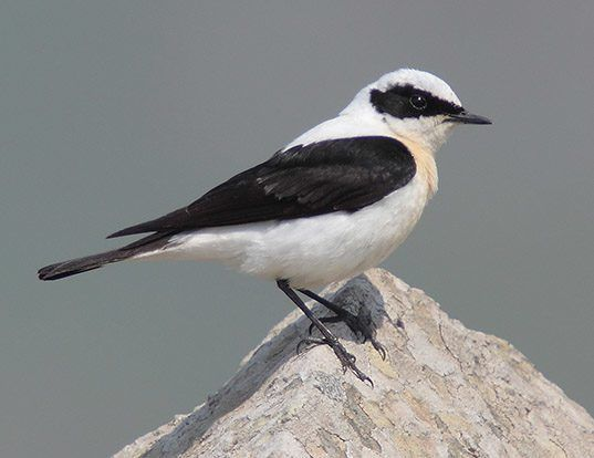 Picture of a black-eared wheatear (Oenanthe hispanica)
