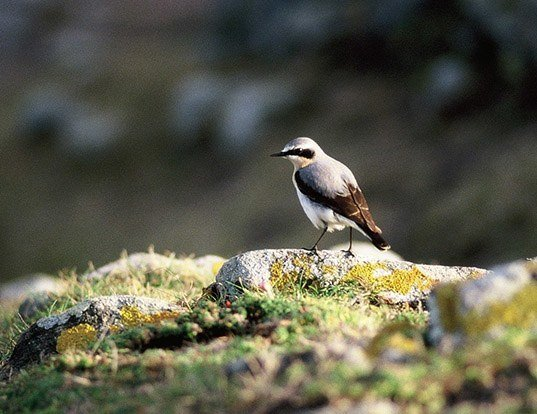 Picture of a northern wheatear (Oenanthe oenanthe)