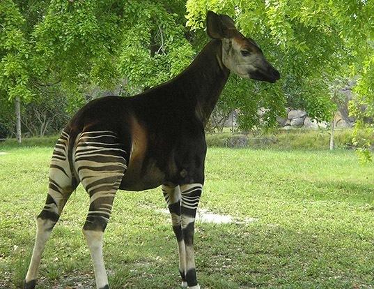 Picture of a okapi (Okapia johnstoni)