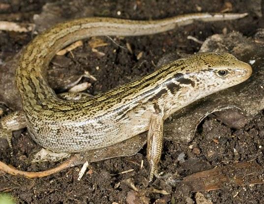 Picture of a mcgregor's skink (Oligosoma macgregori)
