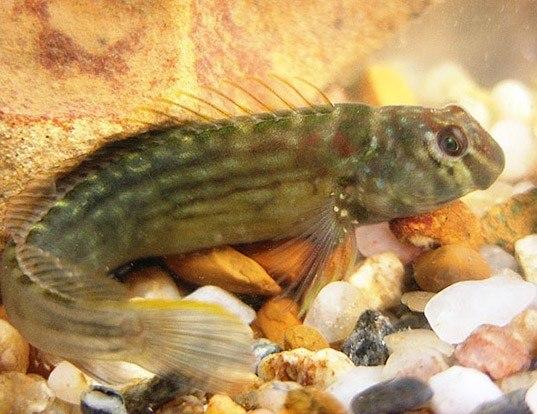 Picture of a japanese blenny (Omobranchus punctatus)