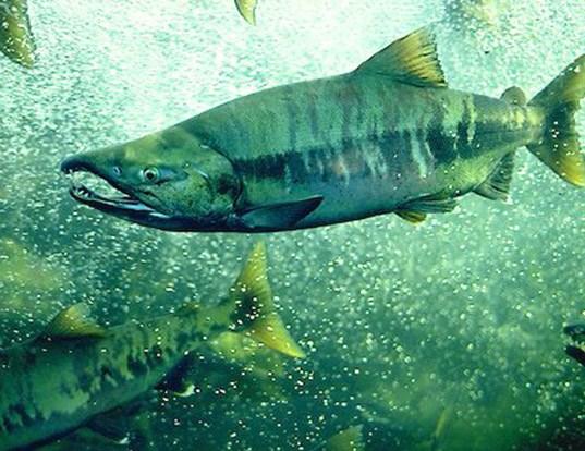 Picture of a chum salmon (Oncorhynchus keta)