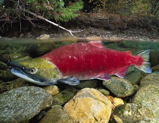 Picture of a sockeye salmon (Oncorhynchus nerka)