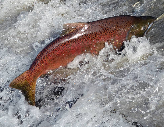 Picture of a chinook salmon (Oncorhynchus tshawytscha)