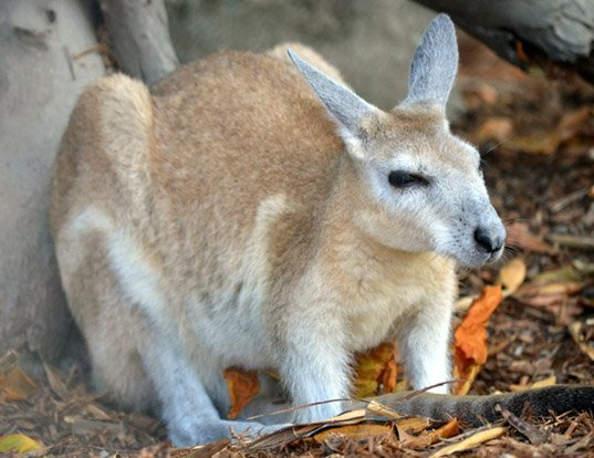 Picture of a northern nail-tailed wallaby (Onychogalea unguifera)