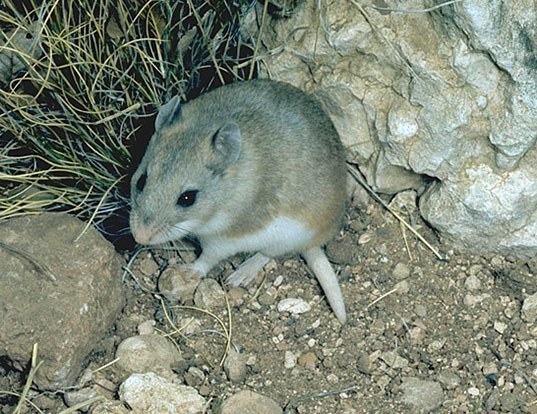 Picture of a northern grasshopper mouse (Onychomys leucogaster)