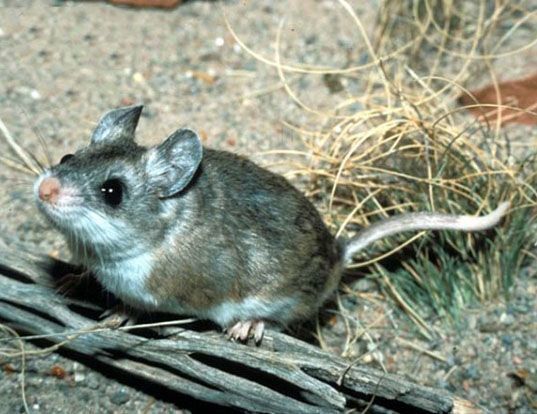 Picture of a southern grasshopper mouse (Onychomys torridus)