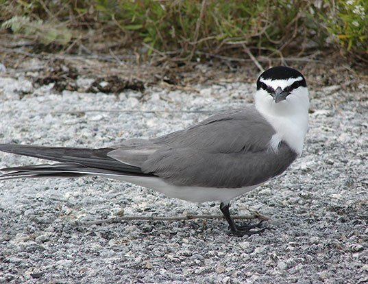 Picture of a gray-backed tern (Onychoprion lunatus)